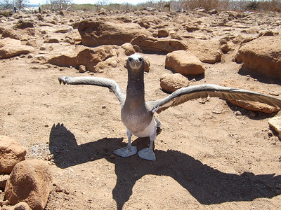 Blue-footed booby testing his wings – this is a juvenile and he can't fly yet, but he faces into the wind and practices for takeoff. His feet will become a more vivid blue as he gets older.
