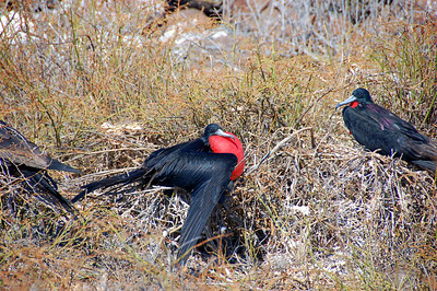 Magnificent frigatebirds on display. During courtship the male inflates his gular sac into a vivid red balloon – because what woman can resist a red balloon?