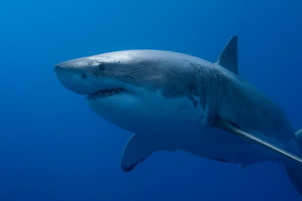 Great White Sharks of Guadalupe Island, August 2016