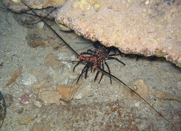 One of many, many lobsters in cave