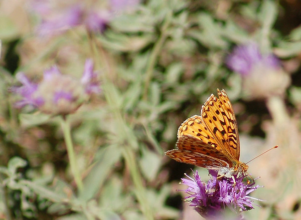 Butterfly on coyote mint
