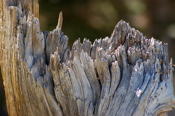 Tamarack stump