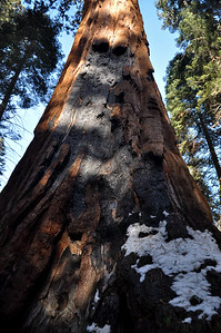 The resilient bark of the Giant Sequoias bears the scars of past fires
