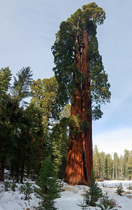 Ed by Ned: two sequoias that grew so closely together, they fused at the bottom