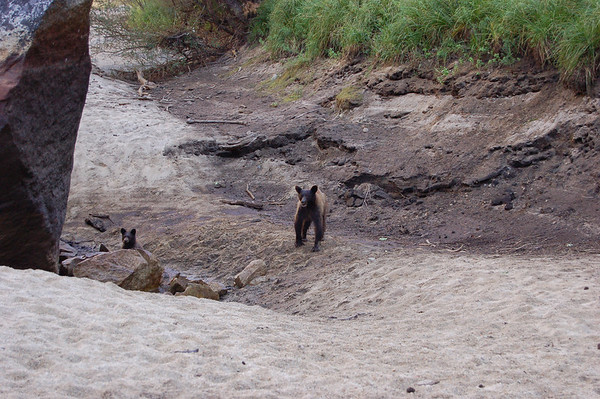 We almost missed seeing these bears tucked behind a rock in the mostly dry Tenaya Creek streambed