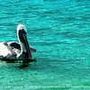 The Contented brown pelican.