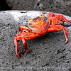 A closor look at Red Rock Crab