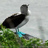 This is a sample of the blue footed boobie.<br /> <br /> Named for their blue legs and feet these are the most common and non-descript of the Galapagos Booby. Their natural habitat extends from Peru to Mexico. Young blue-foots look quite similar to adults yet it takes 2 to 3 years to reach their adult plumage of a pale streaked head, dark mantle with white patches on the nape and rump, white bellies and a dark tail. Blue-Footed Boobies nest in colonies. In large colonies there is almost continuous breeding with pairs nesting every 7 to 9 months. They can be seen breeding on most islands north of the equator in the Galapagos.