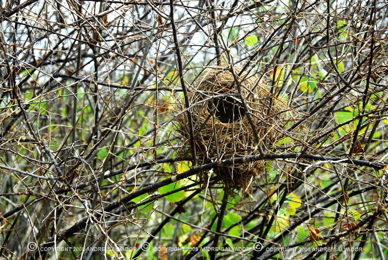 An empty Galapagos mockingbird nest.