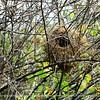 An empty Galapagos mockingbird nest.