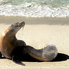 A mother and baby sea lion.