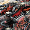 A closer look at the face of a marine iguana.<br /> <br /> Marine iguanas are found all through the Galapagos Islands. Although the iguanas on each island look a little different and are different in size, they are all the same kind of iguana. The iguanas develop their colours as they get older - the young are black, while adults can be combinations of black, green, red or grey, depending on the island on which they live.The iguanas on the island of Espanola are the most colourful, with blotches of red and green. The red colour comes from a kind of seaweed that blooms in the summer.<br /> <br /> While they feed in the sea, marine iguanas swallow a lot of salt water. They have special glands between their eyes and nostrils that collect and remove salt. The salt gathers in the nostril, and the iguanas sneeze it out periodically. The salt spray then shoots up in the air and often falls back onto the marine iguana's head, looking a bit like a white wig.