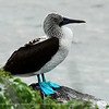 Named for their blue legs and feet these are the most common and non-descript of the Galapagos Booby. Their natural habitat extends from Peru to Mexico. Young blue-foots look quite similar to adults yet it takes 2 to 3 years to reach their adult plumage of a pale streaked head, dark mantle with white patches on the nape and rump, white bellies and a dark tail. Blue-Footed Boobies nest in colonies. In large colonies there is almost continuous breeding with pairs nesting every 7 to 9 months. They can be seen breeding on most islands north of the equator in the Galapagos.