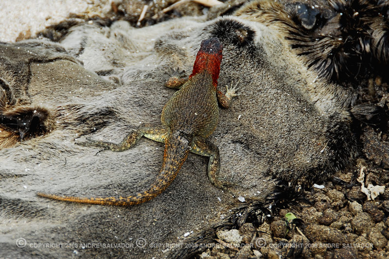 A land iguana at the top of a sea lion carcass.<br /> <br /> Land iguanas reach maturity between 8 and 15 years of age. Males are territorial and will aggressivley defend specific areas, that typically include more than one female. Following the mating period, the female iguanas migrate to suitable areas to nest, and will lay between 2 and 25 eggs in a burrow dug in the sandy soil. The female defends the burrow for a short time, to prevent other females from nesting in the same place. The young iguanas hatch 3-4 months later, and take about a week to dig their way out of the nest. If they survive the first difficult years of life, when food is often scarce and predators are a danger, land iguanas can live for more than 50 years.