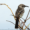 The Galapagos Mockingbird is easily spotted on the Galápagos Islands due to its feathers which are streaked brown and gray, long tail, and smaller size, and black, angled beak. The bird has a darker color than other mockingbirds on the islands causing it to blend in with the coral sand of the islands that it mainly inhabits. Its natural habitats are subtropical or tropical dry forests and subtropical or tropical dry shrubland. Like other mockingbirds it is omnivorous, but it is more predatory than the related species in South America. It preys on small lava lizards, insects, centipedes, carrion, seabird eggs, and young finches. It will also devour any food left out by people visiting the islands. It has a very clear call that sometimes varies, but unlike other mockingbirds, Galápagos mockingbirds are not mimics. Although they can fly, they are known to be seen running around more than flying which has let to comparisons to road-runners.