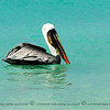 After another while the throat was empty. the pelican bent its head and just floated easily on the water.