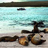 The Galapagos sea lions are common in the islands where there are sandy beaches and gentle rocky shores. It is estimated that there are about 50,000 individuals. Their food is mainly fish for which they will often make extended trips away from the colony.