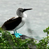 "The Blue-footed Booby (Sula nebouxii) is a bird in the Sulidae family which comprises ten species of long-winged seabirds.<br /> <br /> The name ""booby"" comes from the Spanish term bobo, which means ""dunce"". This is because the Blue-footed Booby is clumsy on the land. Like other seabirds, they can be very tame. It has been known to land on boats, where it was once captured and eaten.<br /> <br /> The natural breeding habitat of the Blue-footed Booby is tropical and subtropical islands off the Pacific Ocean, most famously, the Galápagos Islands, Ecuador"