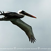 I saw this brown pelican hovering above the water and the beach. I decided to stick around and see what it will do.