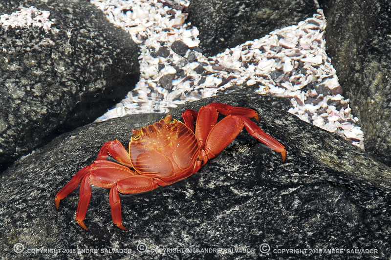Sally Lightfoot, Red Rock Crab or Grapsus Grapsus, they are all the same.