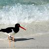 Galapagos Oystercatcher bird