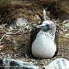 Now, this blue footed booby sits on her two eggs.