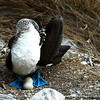 A blue footed booby keeps watch over her two eggs.