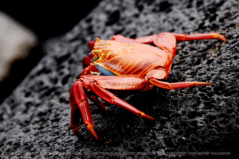 """The bright coloring of these adult crabs make them very visible just at water's edge. Immature crabs are smaller and darker. They feed on algae as well as dead fish, birds and seals. They can get out of harm's way quickly, which is where they get the name """"Lightfoot."""" <br /> <br /> Info taken from <a href=""""http://gosouthamerica.about.com/library/blGalwildslightfoot.htm"""">http://gosouthamerica.about.com/library/blGalwildslightfoot.htm</a>"""