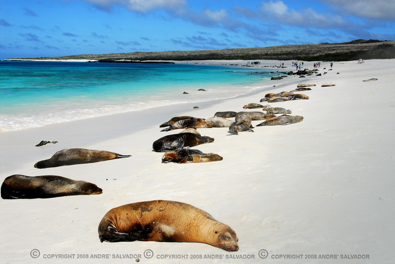 The seals sunning and warming on the beach of Espanola Island.