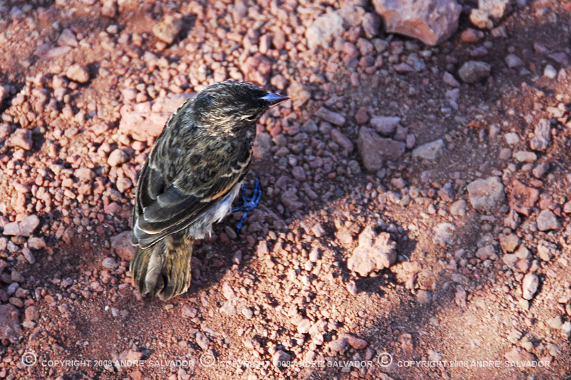 A large ground finch, taken at Rabida Island.<br /> <br /> One of 13 endemic species of Darwin finches in the Galapagos Islands. Female ground-finches camouflage well against the rocks of other islands but not on this lava rocks of Rabida.