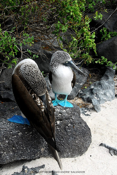 "The female Blue-footed Booby lays two or three eggs. Both male and female take turns incubating the eggs, while the non-sitting bird keeps a watch. Since the Blue-footed Booby does not have a brooding patch (a patch of bare skin on the underbelly) it uses its feet to keep the eggs warm. The chicks cannot control their body temperature up until about one month old. Eggs are laid about 5 days apart. Blue-foots are one of only two species of booby that raise more than one chick. This may be because of the males specialized diving in shallow waters. They must be fed frequently, so the adults constantly hunt for fish. The chicks feed off the regurgitated fish in the adult's mouth. If the parent Blue-footed Booby does not have enough food for all of the chicks, it will only feed the biggest chick, ensuring that at least one will survive. Boobies may use and defend two or three nesting sites until they develop a preference a few weeks before the eggs are laid. Usually 2 to 3 eggs are laid and 1 to 2 chicks are hatched. The incubation period is 41-45 days. They nest on bare black lava in a small dip in the ground. The female will turn to face the sun throughout the day so the nest is surrounded by excretion. These nests are done in large colonies. The male and female share quite a bit of their responsibilities. The male will provide food for the young in the first part of their life because of his specialized diving and the female will take over when the demand is higher.<br /> <br /> info taken from <a href=""http://en.wikipedia.org/wiki/Blue-footed_Booby"">http://en.wikipedia.org/wiki/Blue-footed_Booby</a>"