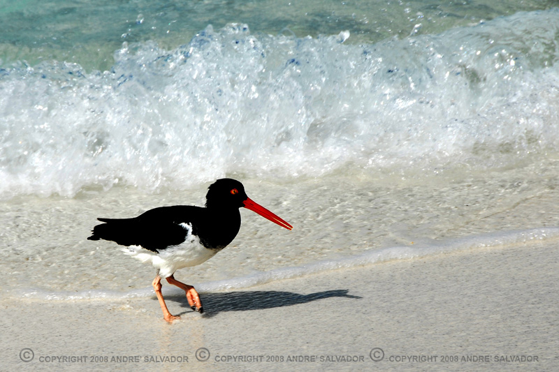 An oystercatcher bird, taken at Espanola Island.<br /> <br /> An endemic subspecies, it is said to have disproportionately large legs and toes.