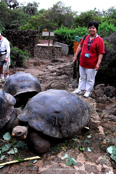 "Galapagos Giant Tortoise<br /> <br /> The Galapagos tortoise is a generalized herbivore feeding on grasses, vines, cactus fruit, and other vegetation. It eats the fruit of the manzanello tree and fallen fruits and spiny pads of the prickly pear. In the zoo they eat natural grasses, bananas, apples, papayas and lettuce.<br /> <br /> Info taken from <a href=""http://www.honoluluzoo.org/galapagos_tortoise.htm"">http://www.honoluluzoo.org/galapagos_tortoise.htm</a>"