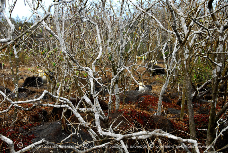 If you looked through the trees, there are Waved albatrosses sitting on their eggs or just warming up their young ones. This photo was taken ain Espanola Island.