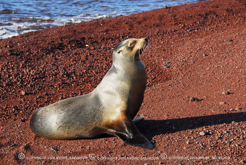 A sea lion on Rabida Island