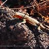The same lava lizard.