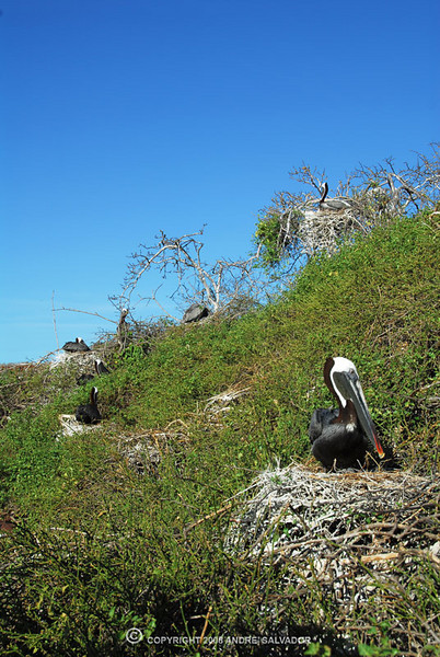 The brown pelican (Pelecanus occidentalis) is the smallest of the eight species of pelican, although it is a large bird in nearly every other regard. It is 106-137 cm (42-54 in) in length, weighs from 2.75 to 5.5 kg (6-12 lb) and has a wingspan from 1.83 to 2.5 m (6 to 8.2 ft).