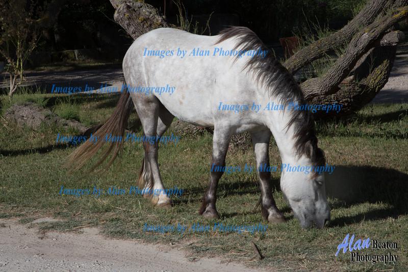 White horses, Camargue