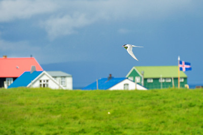 Town Scene with Arctic Tern