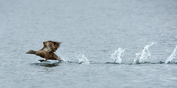 Eider Duck at Takeoff