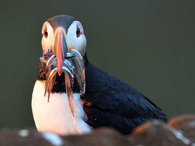 Puffin with Fish  -M