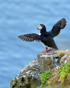 Puffin--Time for a Stretch