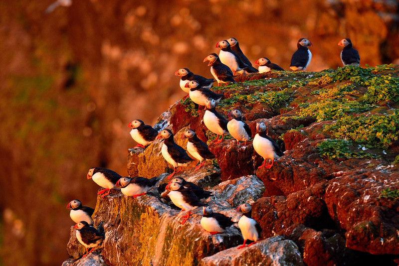 Cliff of Puffins at Sunset