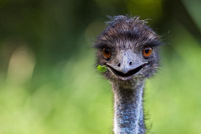 Smiling Emu