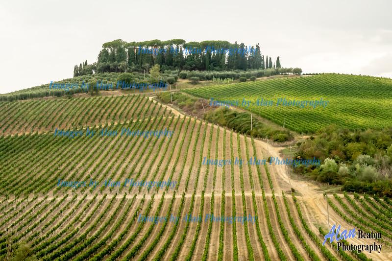 Grape fields, San Gimignano