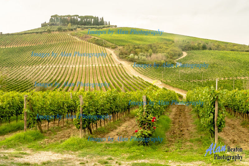 Grape fields, San Gimignano