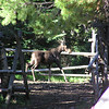 A baby moose came to the campsite to enjoy the salt lick left out for the horses.