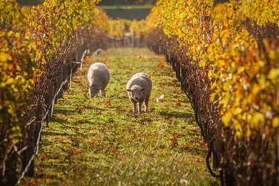 Autumn everywhere, and of course sheep everywhere too.