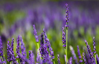 Lavender fields forever.