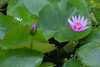 Kiahuna Plantation Garden 7233